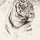 Study of a Tiger Head
