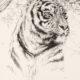Олег Закоморный. Рисунок тигриной головы. 2011 Бумага, графит; 50×35