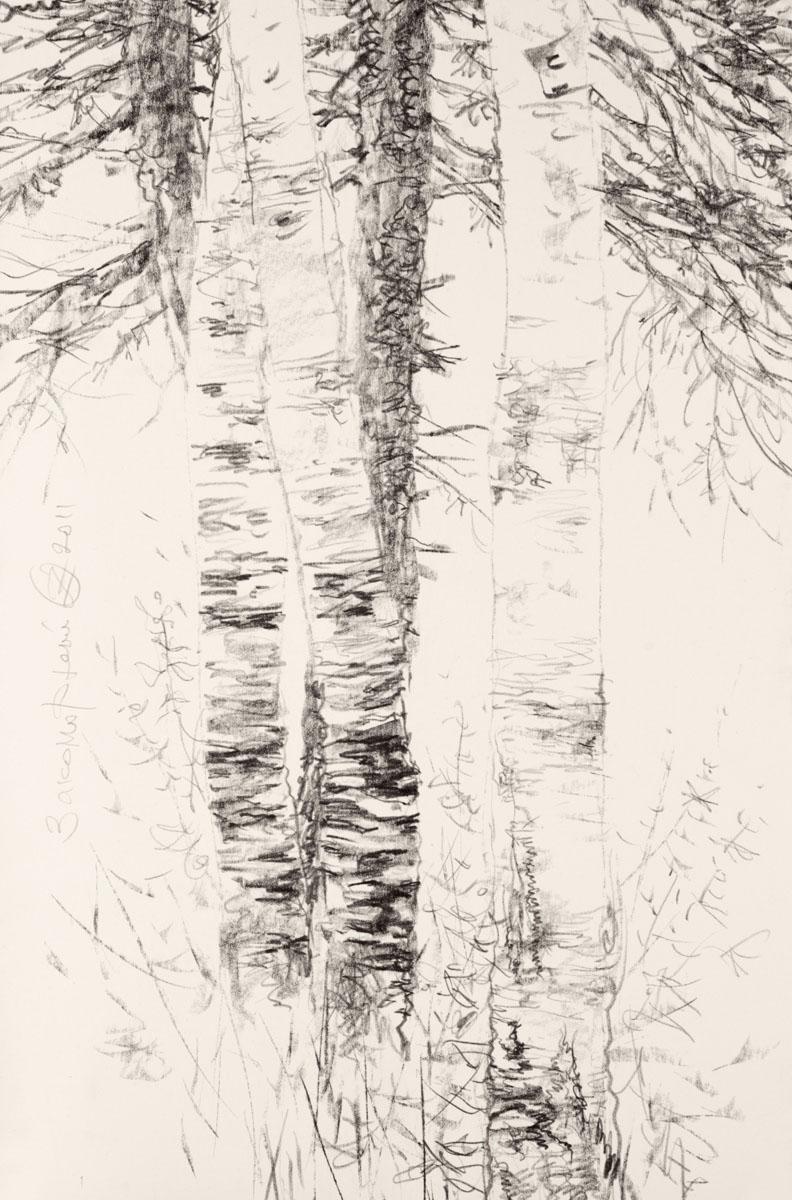 Les troncs des bouleaux